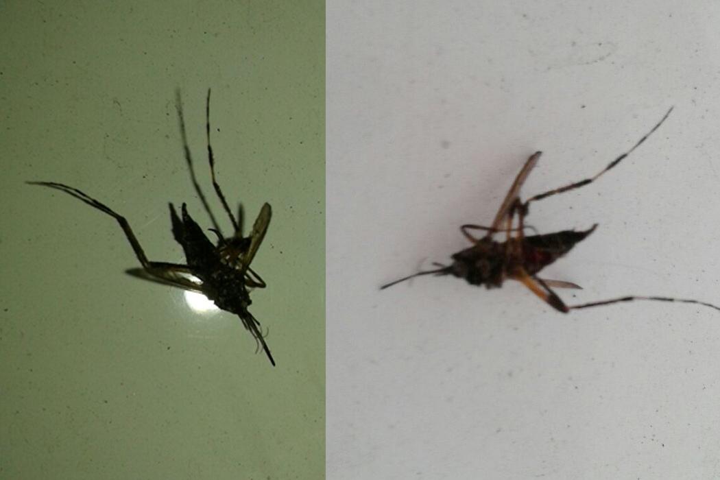 Mosquito gigante en Avellaneda