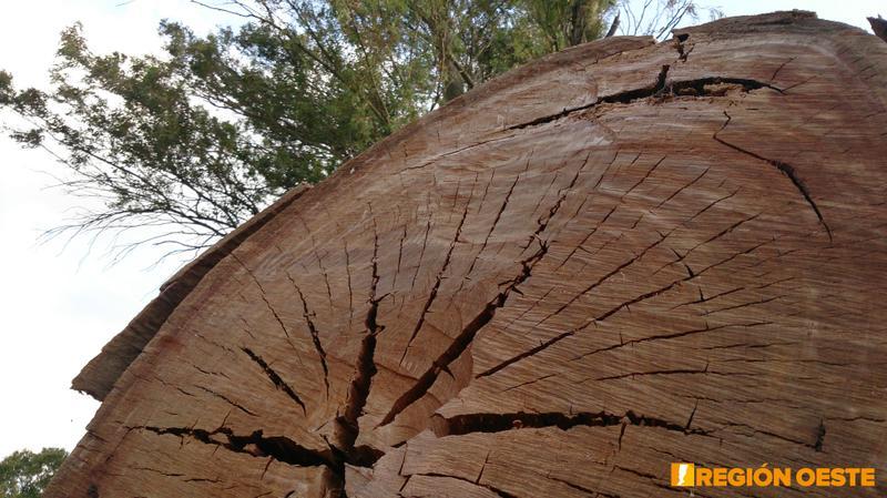 Corte de tronco del Eucalipto