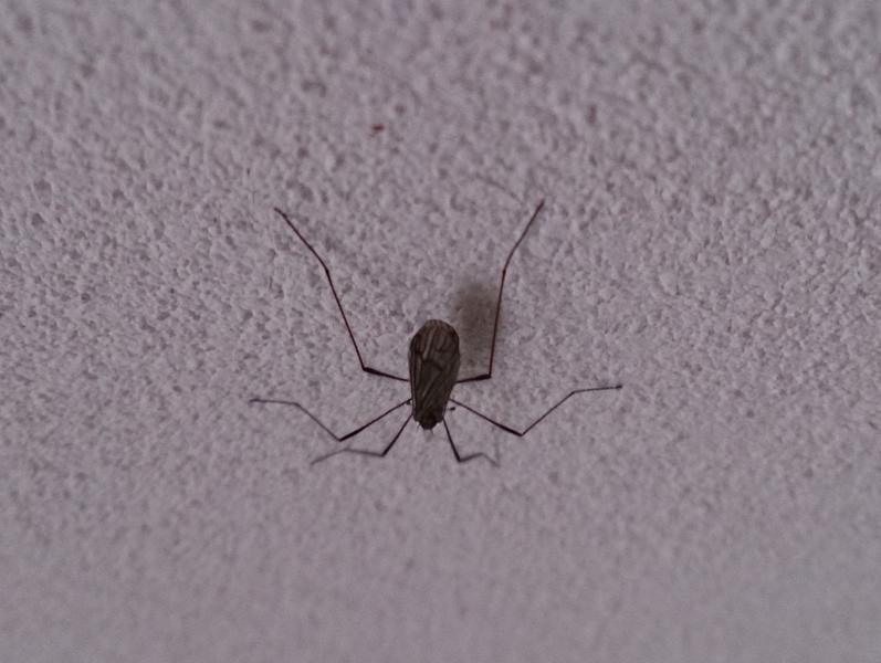 Mosquito gigante de invierno