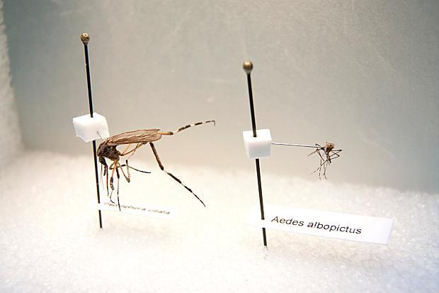 Mosquito gigante en comparación con uno de tamaño mediano