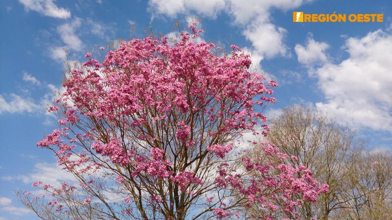 Florecimiento de Lapacho Rosado en la Pampa Húmeda Argentina